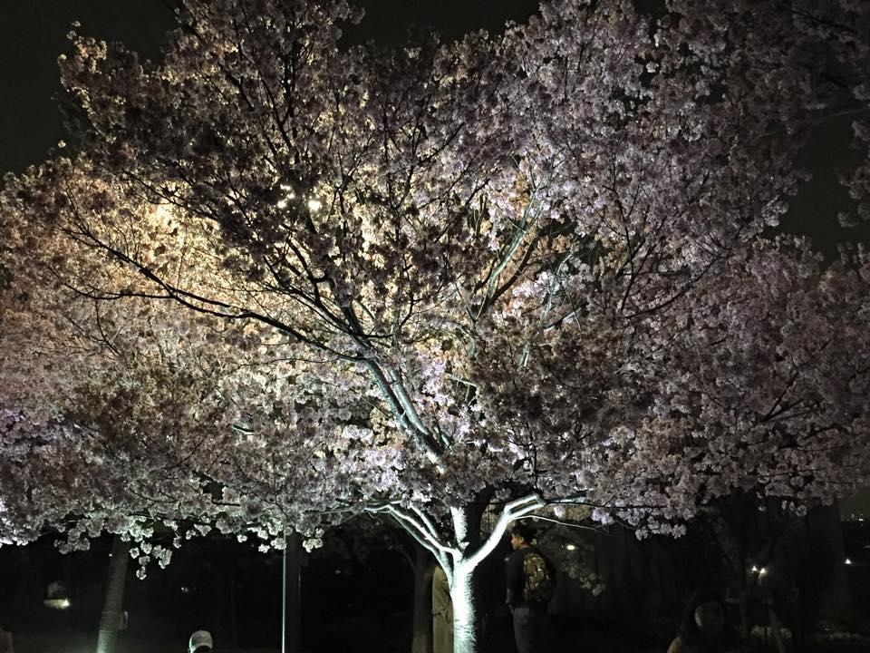 狭山池の夜桜